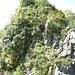 Die Schlüsselstelle nach dem P. Fedora, welche hier so harmlos aussieht (konnte es aufgrund der Nähe nicht besser fotografieren). Fakt ist, dass es links und rechts steil abfällt - Ausrutscher sind verboten. Ich wählte den Durchgang über das markante Gras-Couloir im linken Bilddrittel. Man verschwindet dann irgendwann mitten im grünen Dickicht und kommt bei Erfolg oben in den Alpenrosen wieder raus :-)