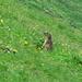 ein Murmeli im saftige Gras.