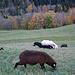 """Die vielen """"schwarzen Schaflein"""" springen den ganzen Tag putzig herum"""