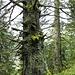 Toter Baum mit neuem Leben bestückt ...