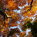 Blick gegen den Himmel im Herbstwald vom Räschberg.