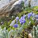 die Mont-Cenis-Glockenblume fiel uns einige Male auf; so zierlich, anmutig und farbenfroh