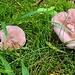 Rötelritterlinge, müssten essbar sein und riechen ziemlich intensiv nach Pilzen