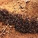 Ameisenstrasse.<br /><br />Die räuberischen Wanderameisen gehören zur Art Dorylinae, wahrscheinlich Dorylus molestus.