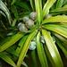 Früchte der Breitblättrigen Steineibe (Podocarpus latifolius) im Bergregenwald bei den Mandara huts (2704m). Der Baum kommt im östlichen- und südlichen Afrika vor. Bei der Reife werden die Früchte rot und sind dann essbar, sie besitzen allerdings einen harten Steinkern.