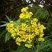 Duftende Blüten eines Krautgewächses im Bergregenwald bei den Mandara huts (2704m).<br /><br />Die Art muss ich noch bestimmen, weiss jemand mehr?