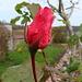 Es ist bald wieder Rosenzeit ;-)