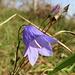 Glockenblume in Südhanglage