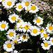 Alpen-Margerite (Chrysanthemum alpinum)