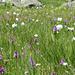 prächtige Sumpfwiese beim Lochberg (ca 2030m) mit Wollgras (Eriophorum scheuchzeri) und schönen Orchideen. Traunsteiners Orchis oder gefleckte Orchis?