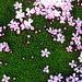stielloses Leimkraus (Silene exscapa)