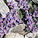 Alpen-Leinkraut (Linaria apina)