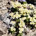 gefurchter Steinbrech (Saxifraga exarata) (Merci pizflora!!)