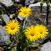 Clusius-Gemswurz (Doronicum clusii)