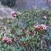 <b>Rododendri fioriti il 18 di novembre!</b>