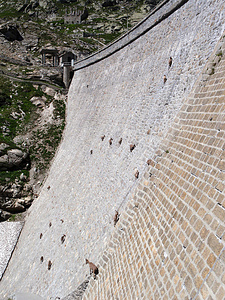 Stambecchi sull diga di Cingino