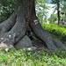 Unterwegs hinauf zum Lagh da Val Viola, die Wurzeln des Baumes reichen weit hinauf und man kann unter dem Baum hindurch kriechen
