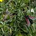 Das Sechsfleck-Widderchen (Zygaena filipendulae), auch Blutströpfchen genannt, ist ein Schmetterling (Nachtfalter) aus der Familie Widderchen (Zygaenidae). Die Art wird auch als Sechsfleck-Rotwidderchen bezeichnet.<br /><br />(Zitat Wikipedia)