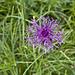 Eine häufige zu sehende Blume, immer schön anzusehen
