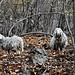 pecore selvatiche nel bosco