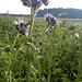 Phacelia - eine Pflanze zur Gründüngung