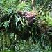 Und wieder im Abstieg durch den prächtigen Regenwald.