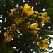 Blüten der Gelben Trompetenblume (Tecoma stans). Der kleine Baum ist heimisch von Peru bis Mexiko und wird in den Tropen weltweit als Zierpflanze angebaut.