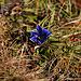 Bald Dezember, und immer noch blüht ein Clusius-Enzian (Gentiana clusii) !
