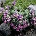 <br />Linaria alpina (L.) Mill. subsp. alpina<br />Plantaginaceae<br /><br />Linaria alpina<br />Linaire des Alpes<br />Alpen-Leinkraut