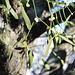 <b>Vischio a portata di mano su una pianta di Sorbo montano (Sorbus aria). Ovviamente lo fotografo senza toccarlo.</b>