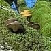 Wunderschöne Baumpilze auf einem alten Ahorn.
