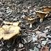 eine Ansammlung grosser und gefälliger Pilze
