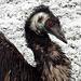Ein Emu bei Vorderhubel.