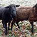 Zwei Schafe bei Vorderhubel.
