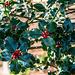 Immer wieder ein Hingucker: der Ilex mit seinem schönen Farbkontrast aus roten Beeren und dunkelgrünen Blättern.