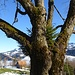 ,,, und junge Tännchen auf der Obstbaumgabel