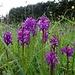 heute sind diese Orchideen für längere Zeit beinahe die einzigen Farbtupfer ...