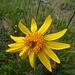 ... und hübsche Blüte der leuchten Arnika