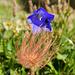 Eine Glockenblume in den Fängen einer Alpenanemone.