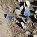Blaue Schmetterlingsansammlung 2