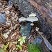 Mucidula Mucida o fungo di porcellana