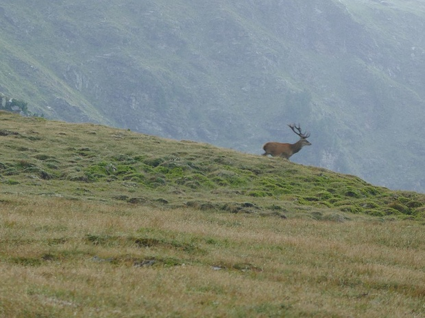 Ein Hirsch auf der Flucht
