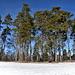 Des pins au milieu de la neige