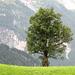 Dernière photo de la randonnée, arbre au-dessus de Grindelwald