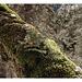 Nadelbäumchen wächst aus Laubbaum