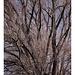 Baum ohne Frühling