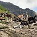 Ziegen bei der Alp Naucal