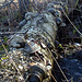 Baumpilze in Massen (Zunderschwämme)