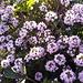 Timo Serpillo in fiore