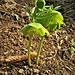 Helleborus viridis L. Ranuncuklaceae  Elleboro verde Hellébore vert  Grüne Nieswurz